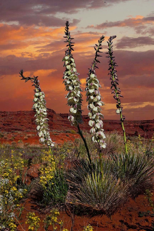 9148,-No Name, Canyonlands-Sunset-with-Narrow-Leaf-Yucca