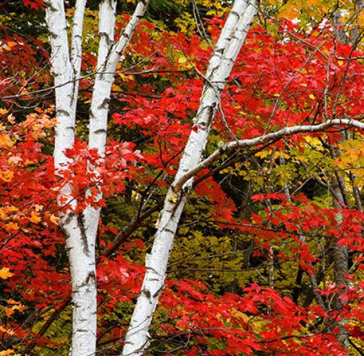 cropped-10839-white-birch-and-red-maple-leaves-24x36-ps-sharpened-soft-proofed-5800-_w5p6967.jpg