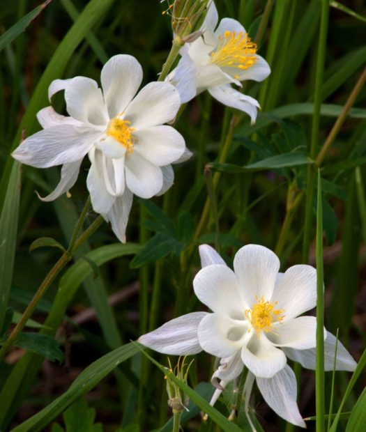 cropped-9154-wyoming-white-columbines-teton-pass-master_w5p1055.jpg